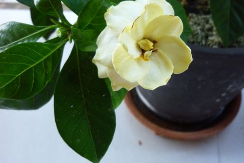 Early gardenias - 4