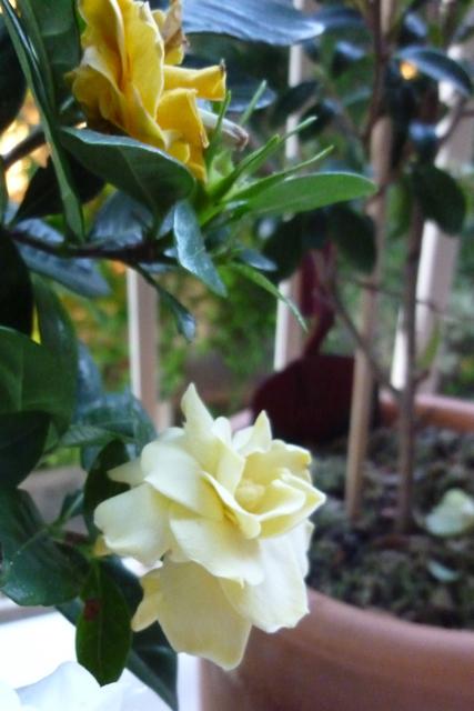 Early gardenias - 3