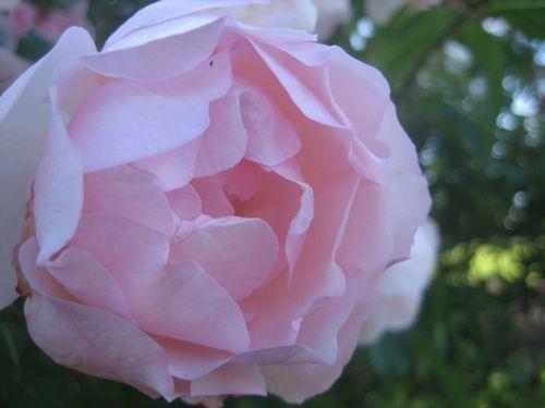 New farm park roses - 2