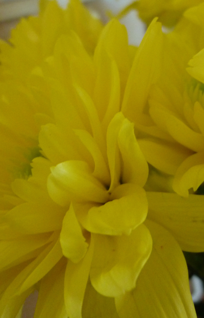 Yellow chrysanthemums - 1