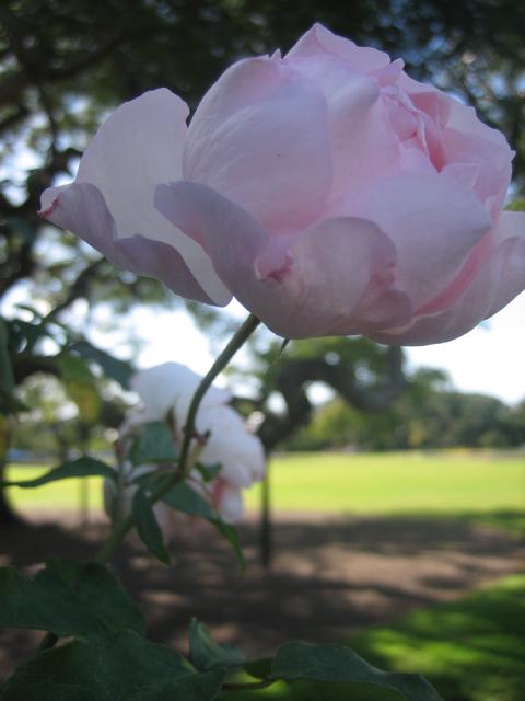 New farm park roses - 3