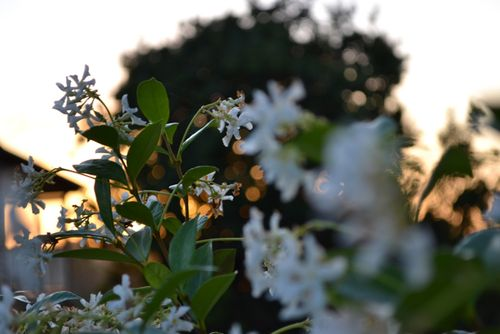 Jasmine at sunset - 3
