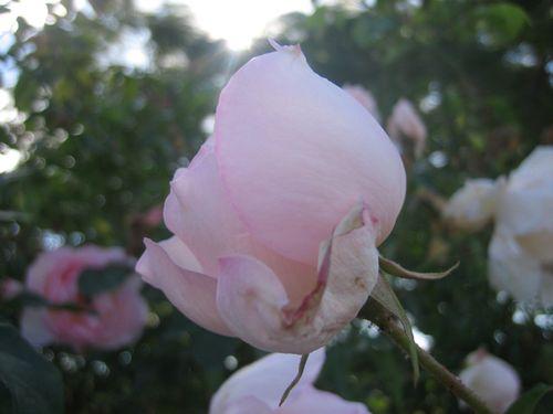 New farm park roses - 1