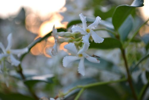 Jasmine at sunset - 1