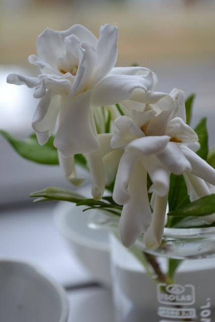 Dos gardenia1