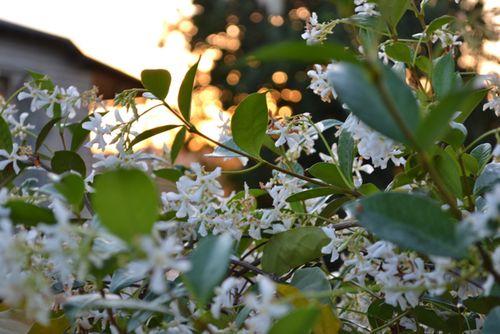 Jasmine at sunset - 2